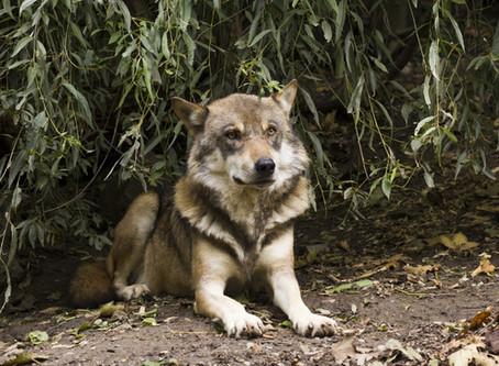 Es war einmal der Wolf
