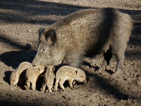 Die Afrikanische Schweinepest II