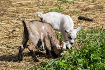 Bear Wallow Goats.jpg