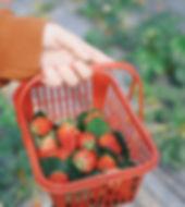 Strawberry_Fields_Bowman_Orchards.jpg
