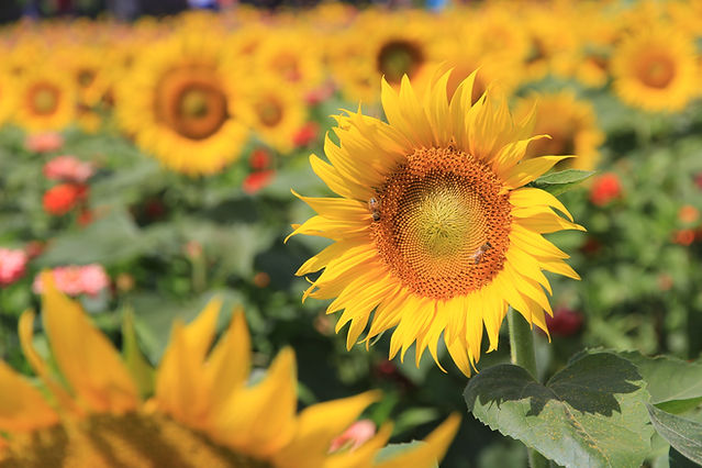 You-Pick Sunflowers