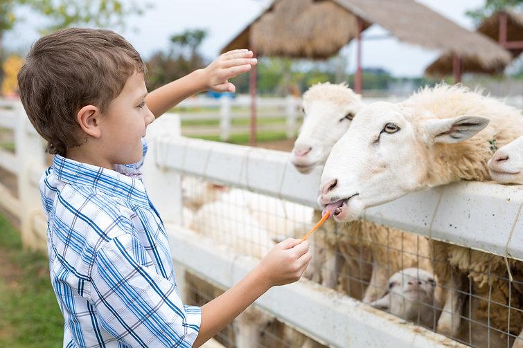 Boy Feeding Sheep.jpg