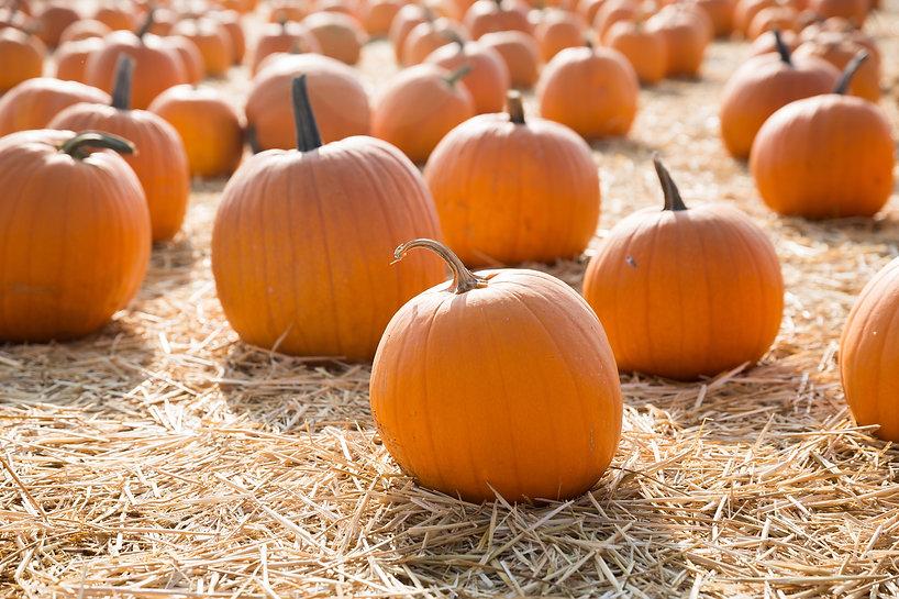 pumpkins-in-a-pumpkin-patch-Q76K2XH.jpg