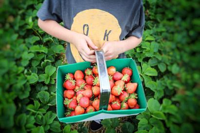 You-Pick Strawberries.jpg