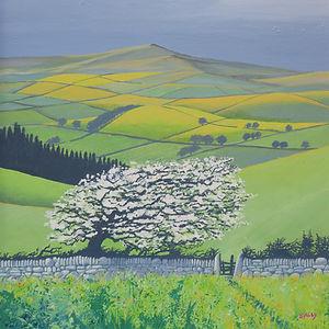 May Blossom on Dartmoor.JPG