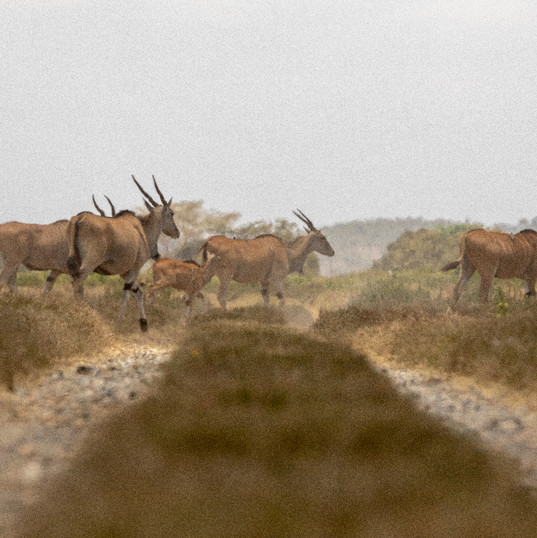 Eland crossing the road in OWS