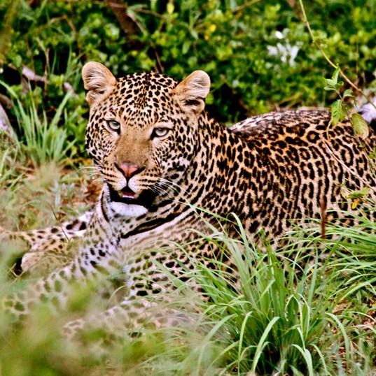 Maridadi the Leopardess