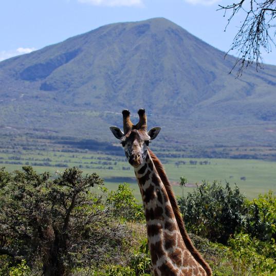 Giraffe & view of Olkaria Hill