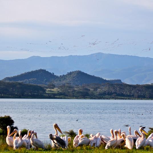 Pelicans on Lake Shore