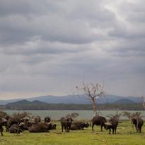 Buffalo on the Lake Shore