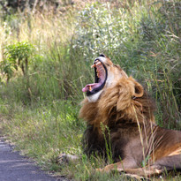 George the lion on the road