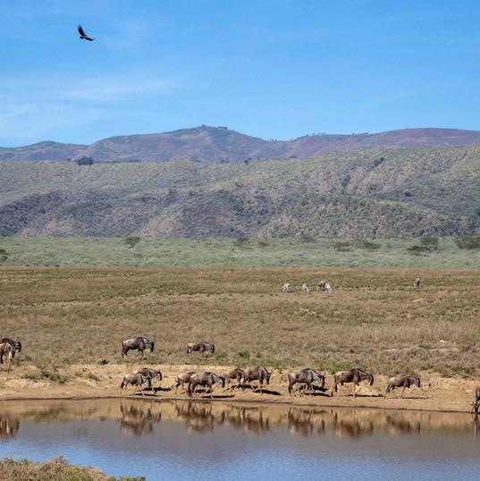 Wildebeest on Ngondi Plains