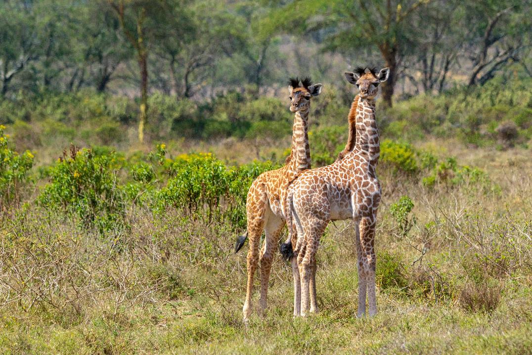 Masai Giraffe young
