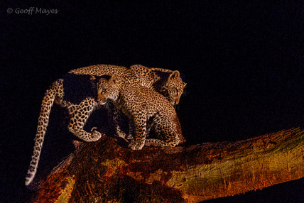 Young Leopard Cubs