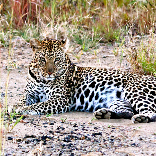Leopard on afternoon drive