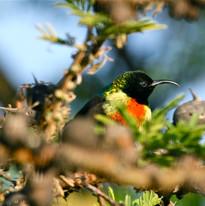 Beautiful Sunbird in the garden