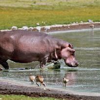 Hippo entering the Lake
