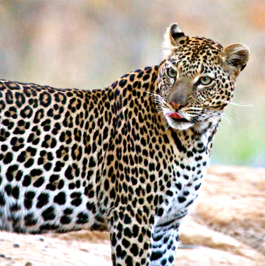 Leopard by the road