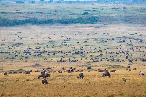 Wildebeest on the Mara plains
