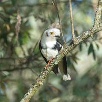 Grey Crested Helmeted Shrike