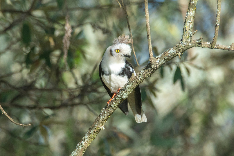 Grey Crested Hemleted Shrike