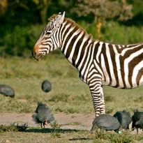 Zebra & Guinea Fowl