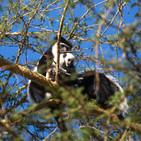 Colobus Monkey & young