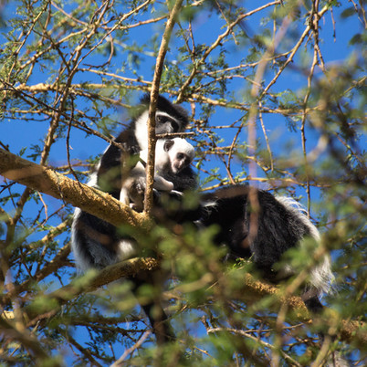 Colobus Monkey & young