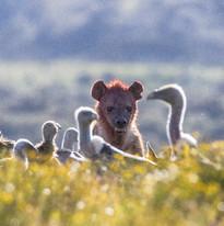 Hyena & Vultures on a kill