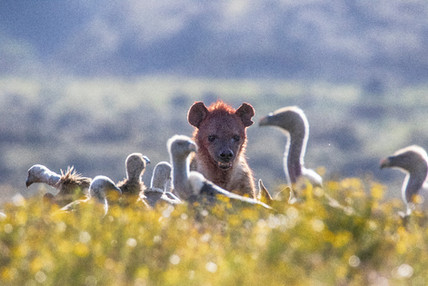 Hyena and Vultures