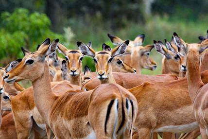 Large herd of Impala