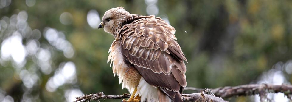 Juvenile Eagle
