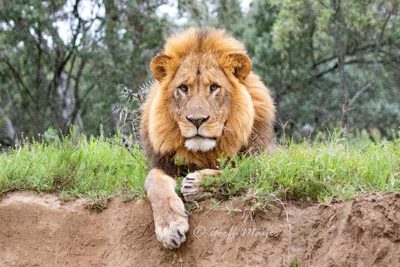 Nomadic male lion