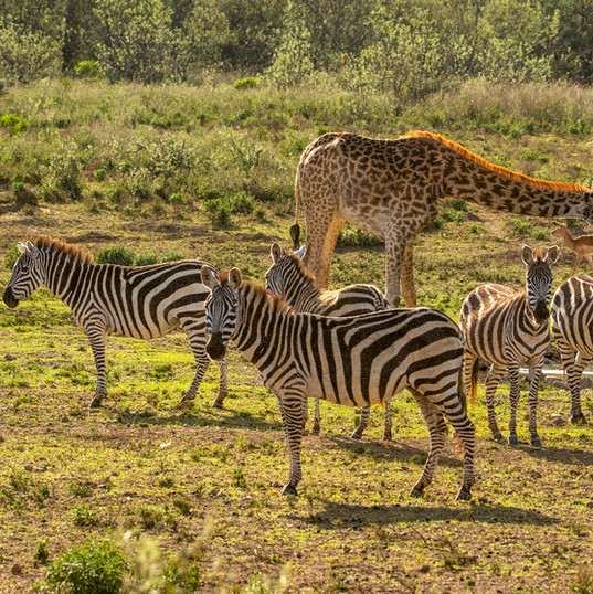 Zebra & Giraffe at the waterhole