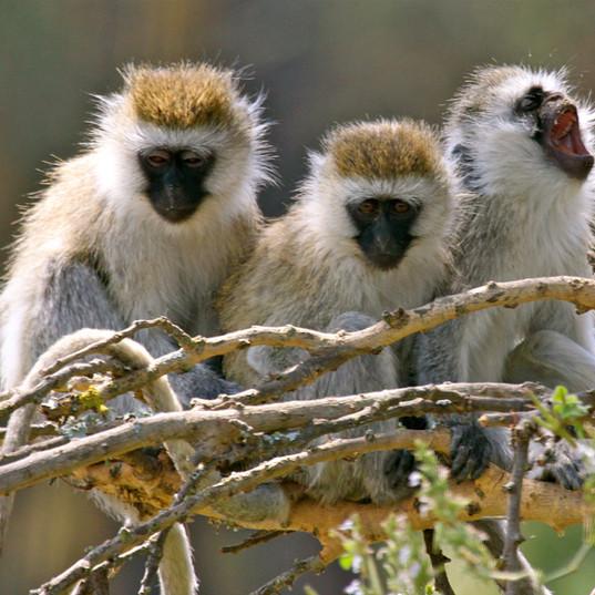 Cheeky Vervet Monkeys