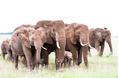 A cow herd of elephants cross the plains, with the youngster member protected by the rest of the her