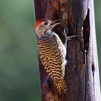 Nubian Woodpecker outside the room