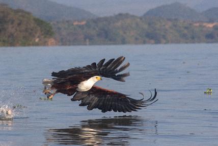 Fish Eagle on Lake Naivasha
