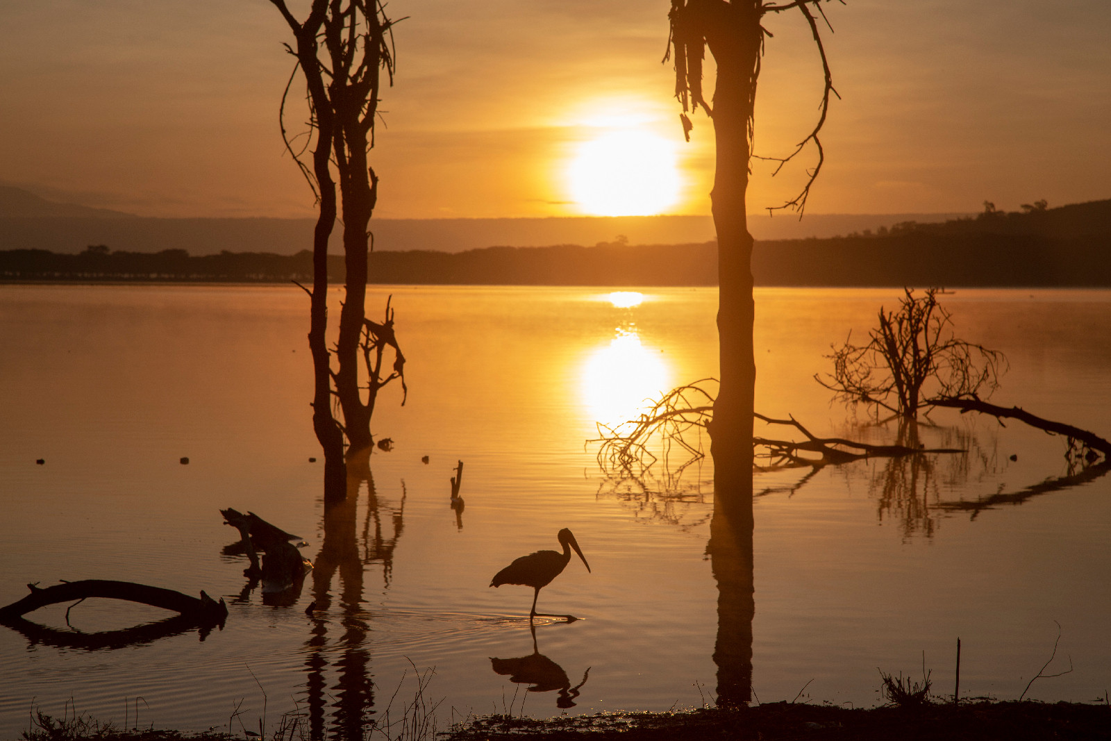 Yellow Bill Stork at Sunrise
