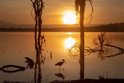 Yellow Bill Stork at Sunrise
