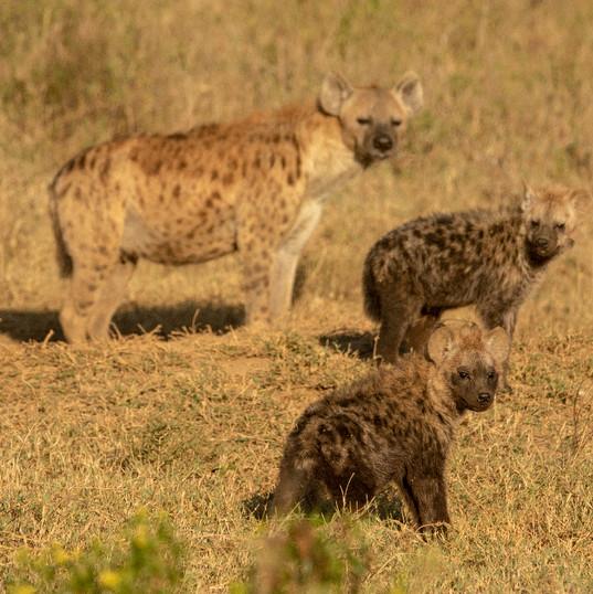 Hyena & Pups