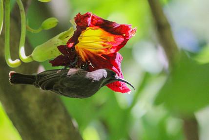 Sunbird on a Kigelia Flower
