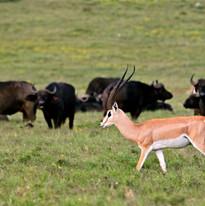 Grants Gazelle & Cape Buffalo