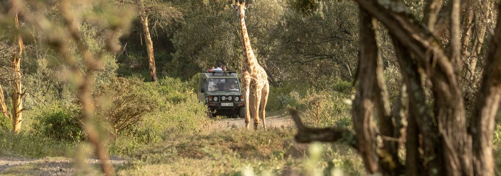 Game drive with road traffic