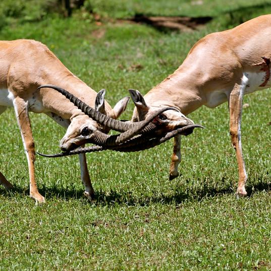 Grants Gazelles Sparing