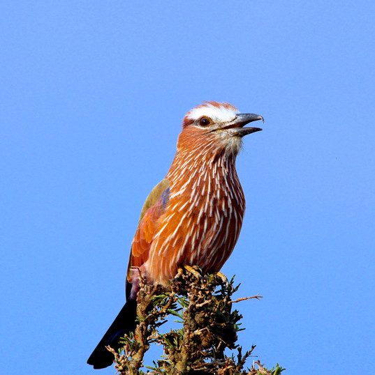 Rufour Breasted Roller
