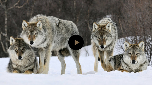 How Wolves Change Rivers, LENGTH: 4:33