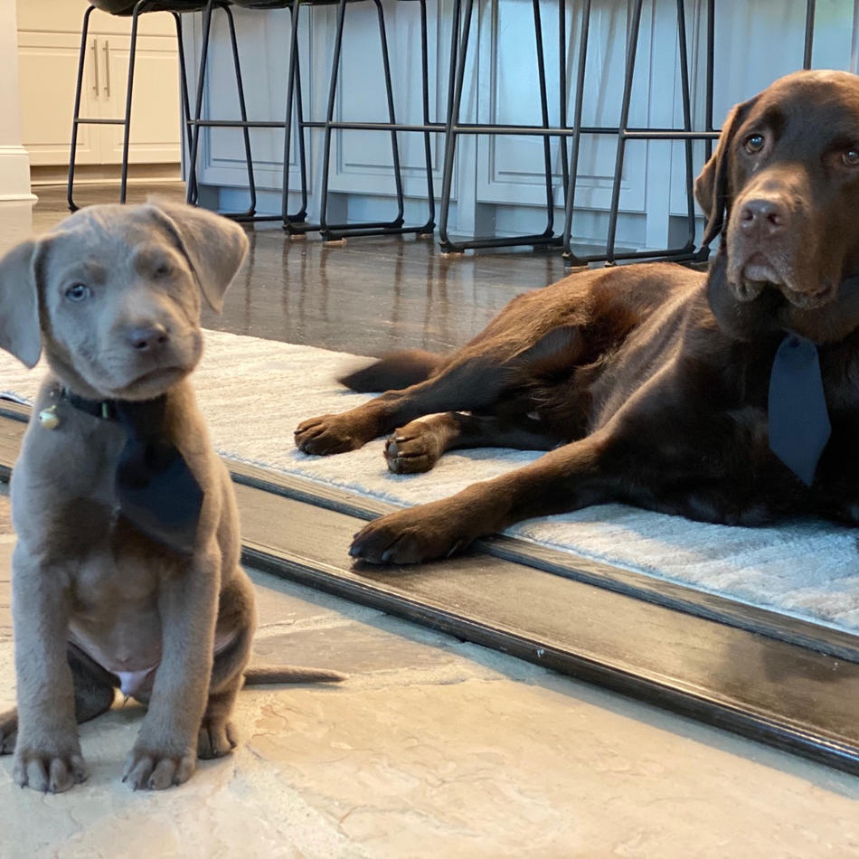 Labs & Labradoodle