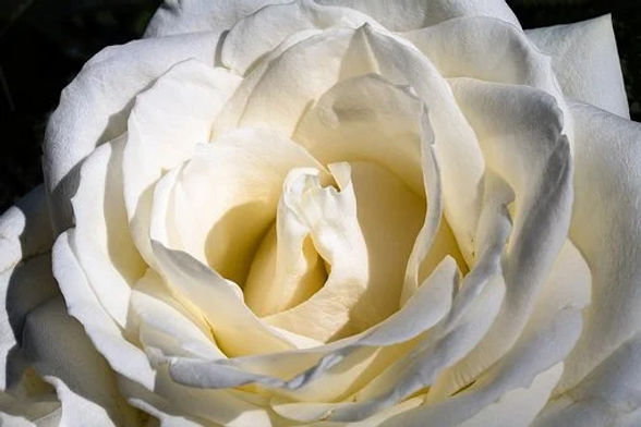 21-rose-blanche.jpg