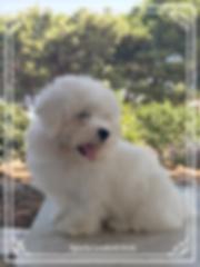 Ophelia | coton de tulear | allevamento | loveandcotons | lombardia | Italia | cuccioli